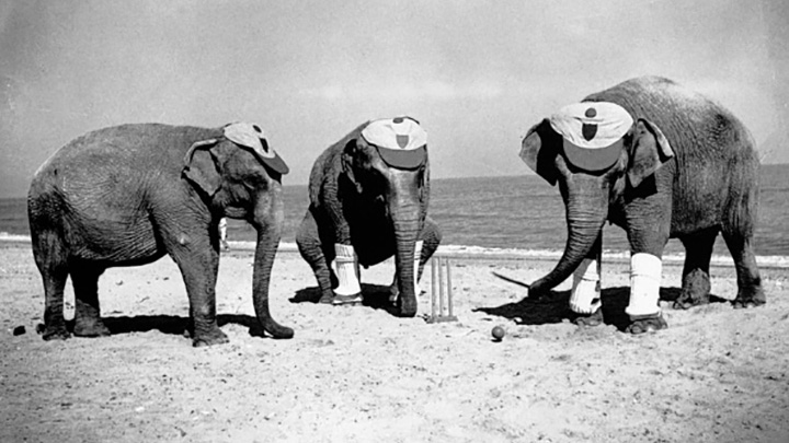 Elephants have been trained to play cricket